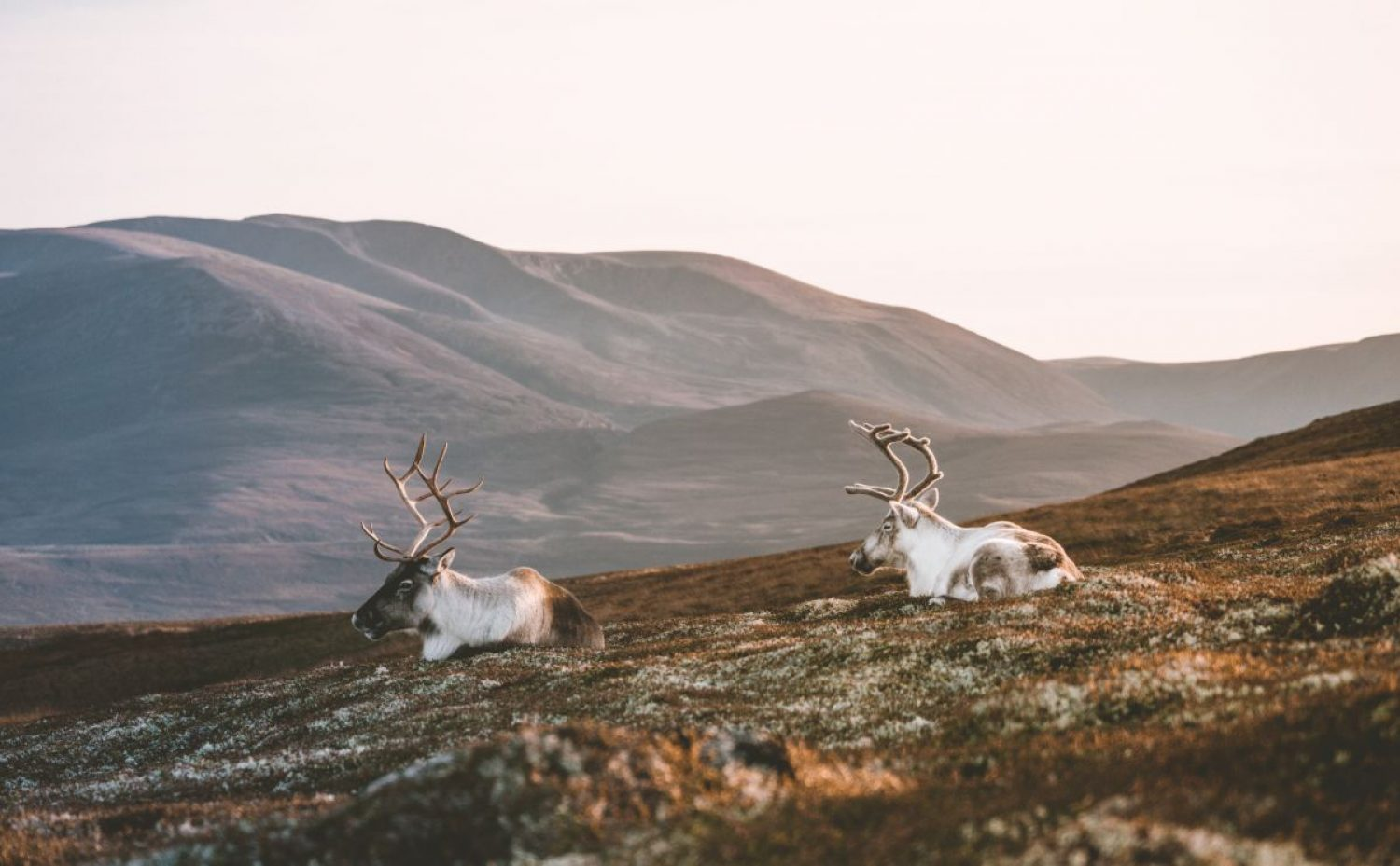 Reindeer were introduced to the Cairngorms in 1952