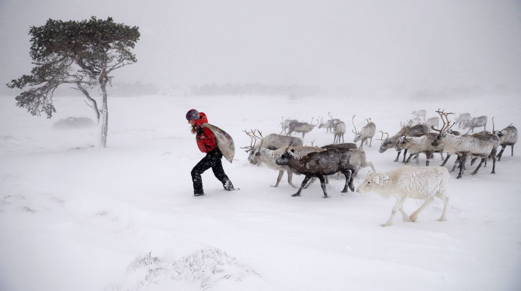 Image for Bucking the trend: the Scottish reindeer offering hope for an imperilled species