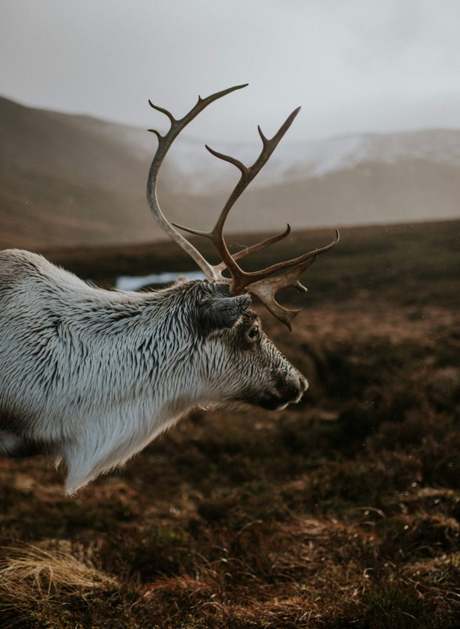 Reindeer are believed to be native to Scotland, but became extinct around 800 years ago due to over-hunting