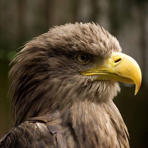 Farmers proposed bringing eagles back to Norfolk