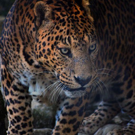 Jaguars have returned to Argentina's Iberá Wetlands