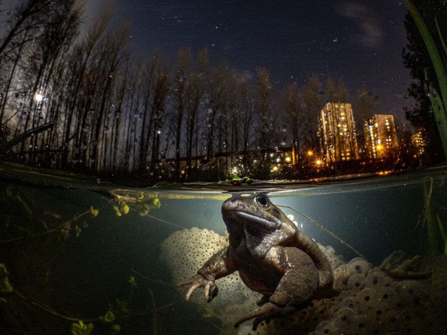 A frog sits in a pond near flats in Glasgow