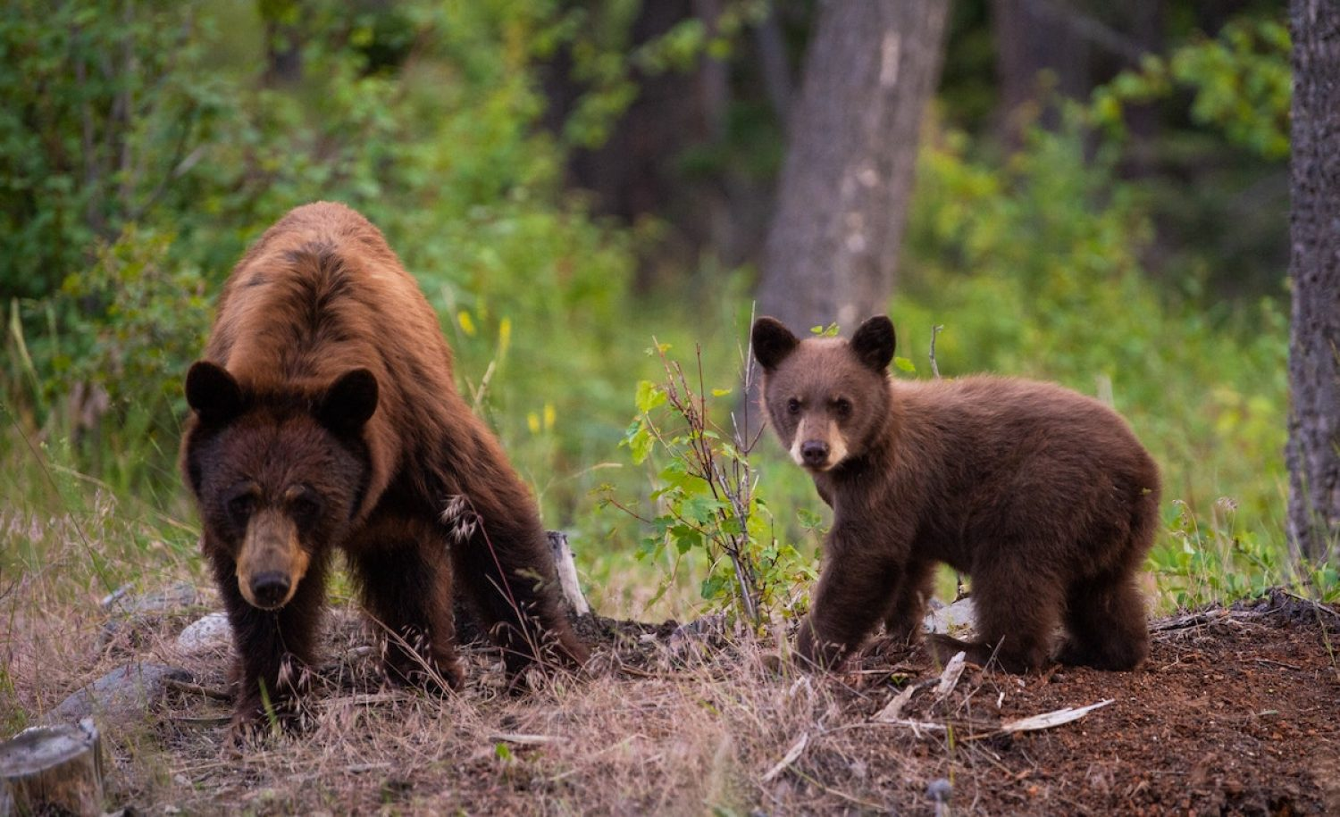 In North America species including bears already benefit from wildlife bridges