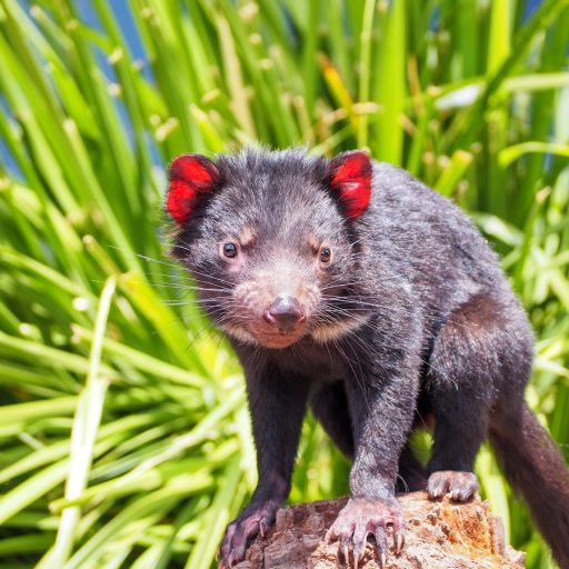 Good news - Tasmanian devils have started recolonising Australia