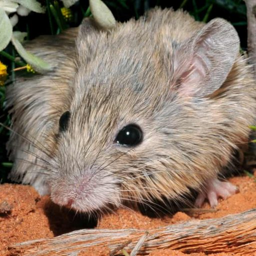An 'extinct' mouse has turned up in Australia