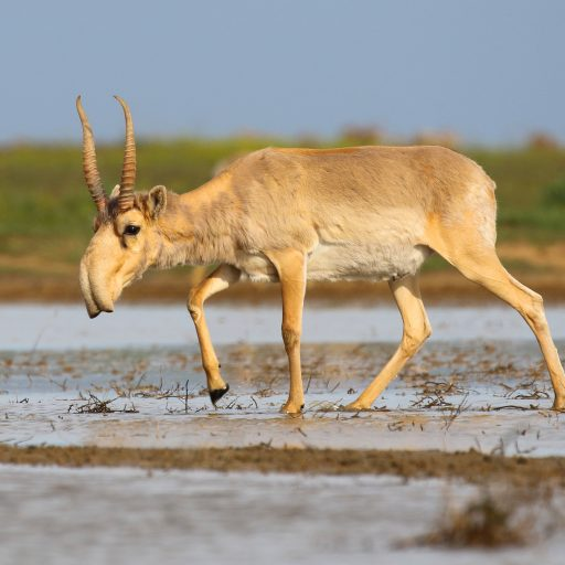 Good news - A critically endangered antelope has staged a comeback