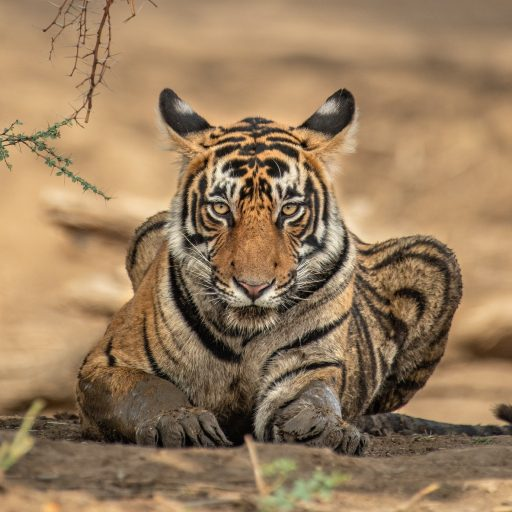 Good news, tiger populations are increasing