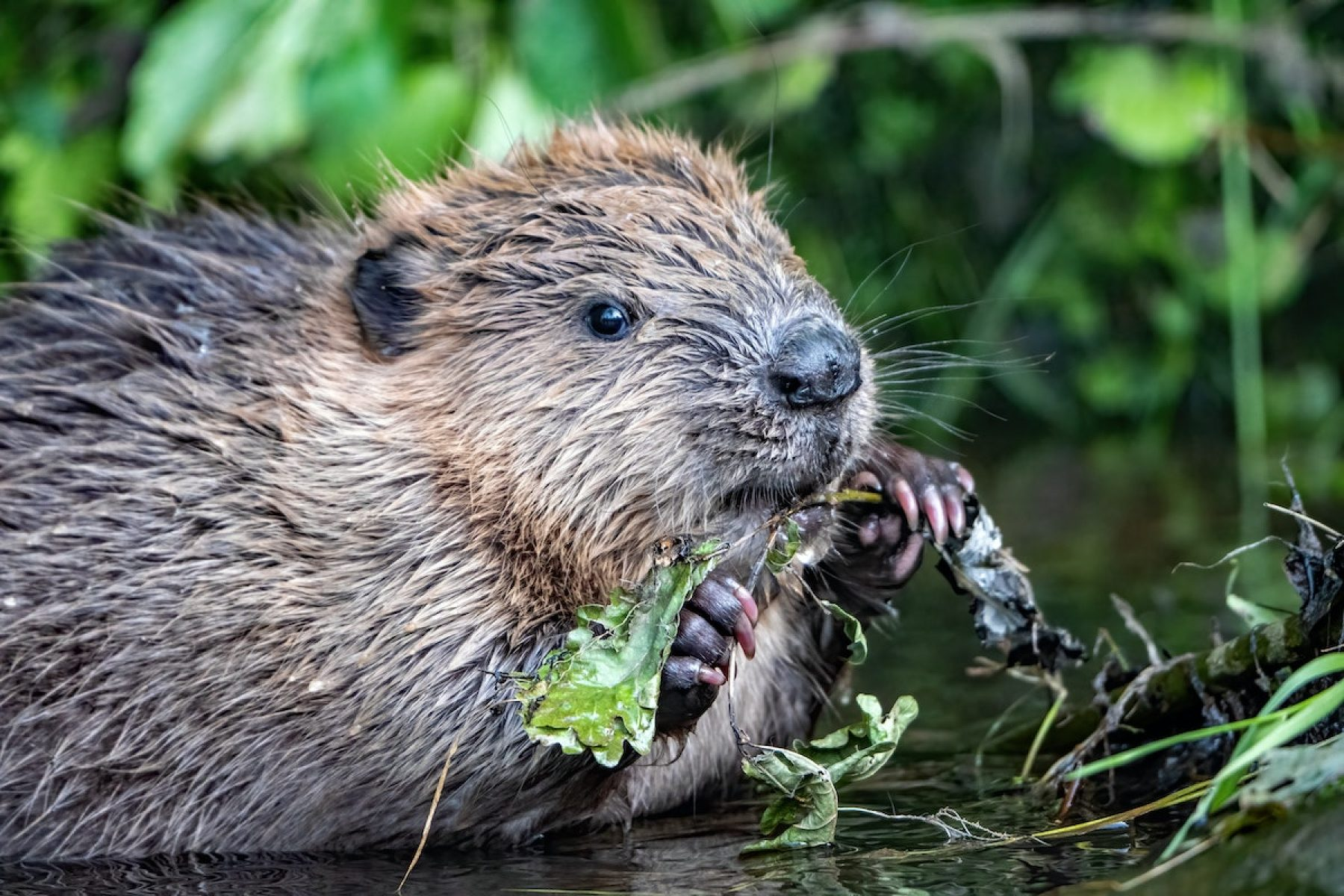 Image for The real reason why beavers could be coming to London