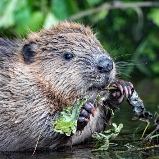 A survey found that beavers are recolonising Scotland