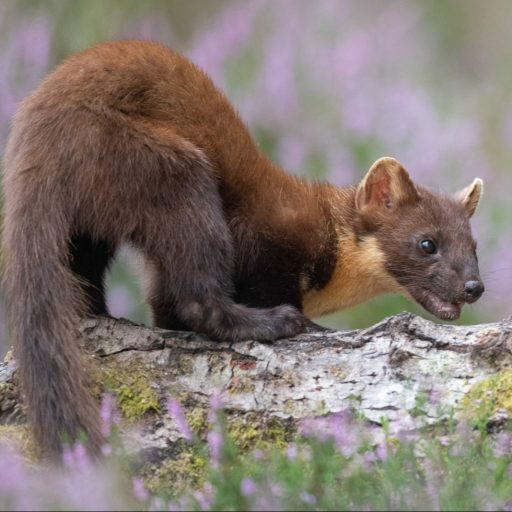 Positive news - Pine Martens have returned to southern England