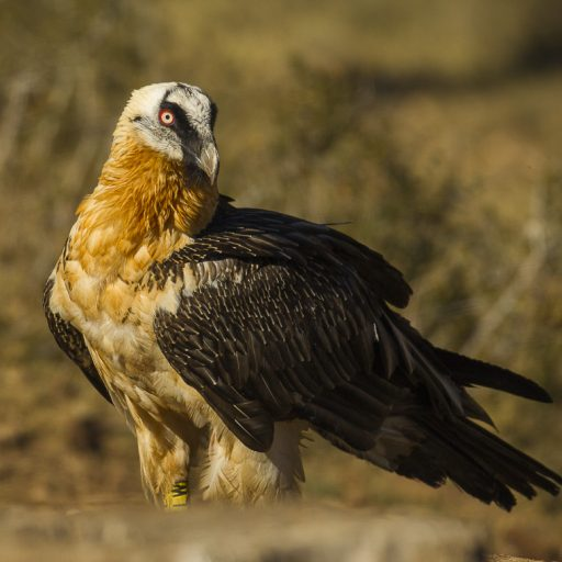 Spain's bearded vultures had a record breeding season