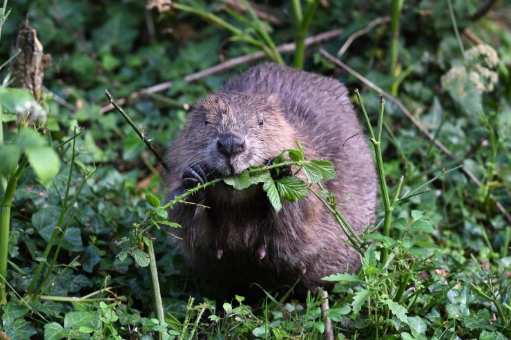 Image for Beavers are back: here's what this might mean for the UK's wildspaces