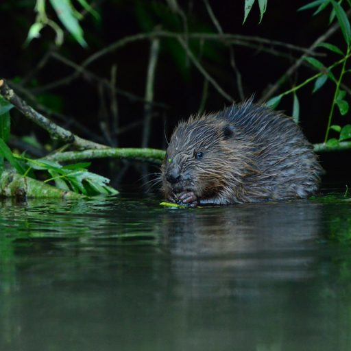 Good news - Beavers introduced themselves to an English region
