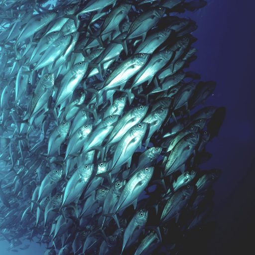 Positive news - Tuna have come back from the brink, said scientists