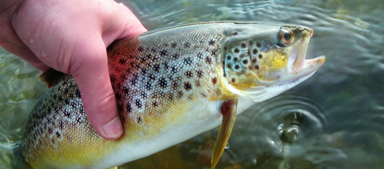 Record numbers of salmon and sea trout in English rivers