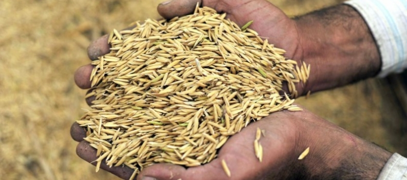 'Revolutionary' rice-growing method gets much more for less