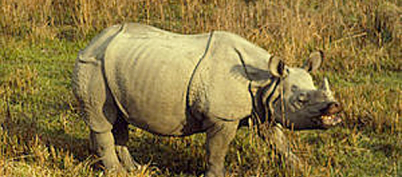 Collective conservation efforts boost rhino population in Nepal